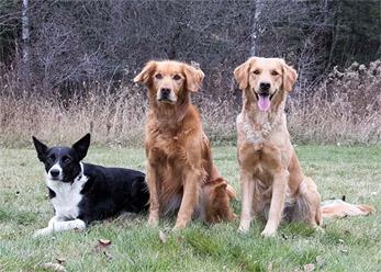 Home - Golden Paws Dog Training Golden Paws Dog Training